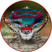 BOUVARD COASTCARE PEACOCK SPIDER GROUP